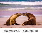 seals in love at the beach... | Shutterstock . vector #558828040