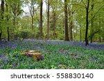 Springtime Bluebells In The...