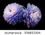blue pink flowers ... | Shutterstock . vector #558852304