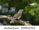 eurasian wryneck | Shutterstock . vector #558951910