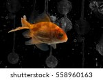 goldfish and black background   Shutterstock . vector #558960163