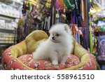 Pomeranian Puppy In Pet Store