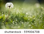 Dandelion In Wet Green Grass...