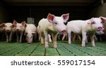 pigs purebred puppies in fence... | Shutterstock . vector #559017154
