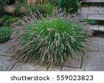 Clump Of Ornamental Grass...