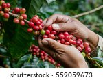 harvesting coffee berries by... | Shutterstock . vector #559059673