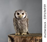Northern White Faced Owl...