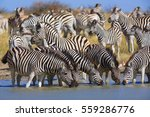 zebras migration in... | Shutterstock . vector #559286776