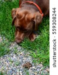 Small photo of Chocolate lab puppy studying an American toad in the gravel - confrontation concept.