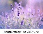 lavender flowers | Shutterstock . vector #559314070