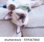 siamese cat lay on fabric sofa | Shutterstock . vector #559367860
