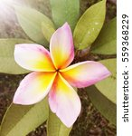 beautiful plumeria | Shutterstock . vector #559368229