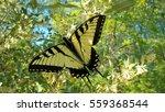 canadian tiger swallowtail...   Shutterstock . vector #559368544