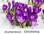 spring crocus in the snow  lit...   Shutterstock . vector #559390936