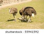 Ostriches Eat Near A Farm In...
