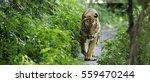 malayan tiger | Shutterstock . vector #559470244