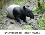 Malayan Tapir  Tapirus Indicus...