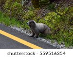 Marmot At Mt Rainier National...