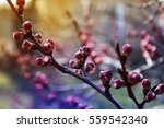 apricot flower bud on a tree... | Shutterstock . vector #559542340