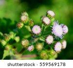 sensitive plant flower | Shutterstock . vector #559569178