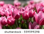 beautiful bouquet of pink... | Shutterstock . vector #559599298