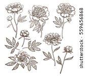 set beautiful peonies. drawn... | Shutterstock .eps vector #559656868