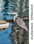 Grey Heron Standing In The...