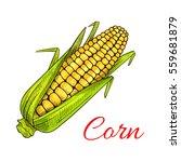 corn vegetable . vector corn... | Shutterstock .eps vector #559681879