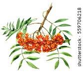 rowan berries with leaves ... | Shutterstock . vector #559706218