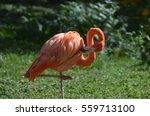 Greater Flamingo Balancing On...