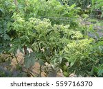 Tomato Yellow Leaf Curl Virus ...