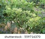 Tomato Yellow Leaf Curl Virus ...