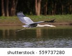 close up of a white necked... | Shutterstock . vector #559737280