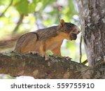 Fox Squirrel Sitting On Tree...