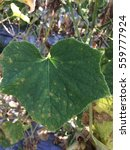 Small photo of Target leaf spot disease on cucumber