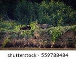 jaguar chasing a capybara at ... | Shutterstock . vector #559788484