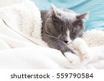 Sleeping Grey Cat In White Blu...