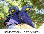 Pair Of Hyacinth Macaws...