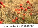 Red Poppy Flowers Field  Close...