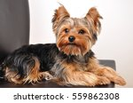 Stock photo yorkshire terrier sitting on a chair 559862308