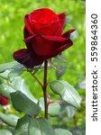 Stock photo rose national park ukraine 559864360
