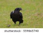 A White Necked Raven  Corvus...