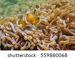 clownfishes in anemones on the... | Shutterstock . vector #559880068