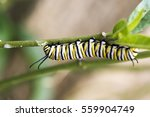 Caterpillar Of The Monarch...