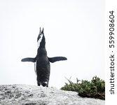 african penguin at boulder... | Shutterstock . vector #559908604