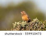 an agulhas clapper lark also... | Shutterstock . vector #559910473