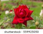 Blooming Burgund  Loving Memor...