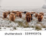 Herd Of Red Brown Scottish...