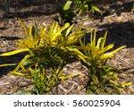 croton variegatum a  stunning...   Shutterstock . vector #560025904