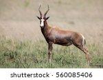 Blesbok Male Standing On An...